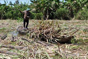 Hàng nghìn héc ta mía tại Hậu Giang bị ngập nước lũ