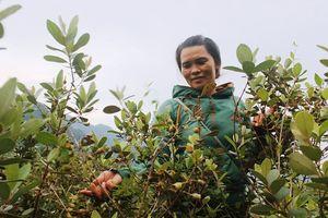 Quảng Bình: Bỏ trồng keo, tràm sang trồng sim cho thu nhập gần 200 một mùa