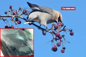 Hàng loạt chim ở Mỹ bị 'say rượu', bay loạn xạ đâm khắp nơi