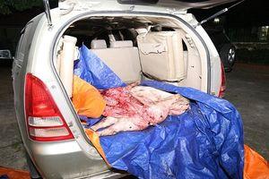 Vĩnh Phúc: Thiêu hủy 218kg lợn chết bị bắt trên đường đi tiêu thụ
