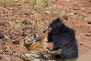 Hổ đại chiến với gấu và cái kết bất ngờ