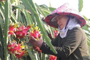 Dân trồng thanh long lao đao vì thương lái Trung Quốc