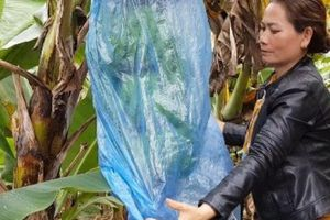 Trồng chuối Laba, nông dân Lâm Đồng thu lãi sòn sòn nửa tỷ/ha
