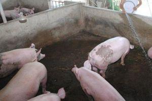 Giá heo hơi hôm nay 6/10: Giá tăng cao, lợn cỏ trước lái chê nay lãi đậm