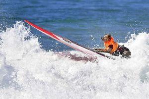 Chú chó gây bão mạng với tài lướt sóng như 'tay đua'