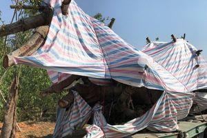 Lại xuất hiện xe chở cây 'quái thú' bị CSGT bắt giữ