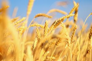 Lúa mì bị cấm nhập vào Việt Nam vì 'cỏ độc' cirsium arvense