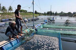 Cá nuôi lồng ở Hội An chết chưa rõ nguyên nhân