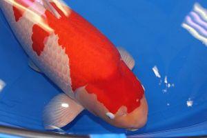 Mục sở thị cá Koi đắt nhất thế giới, giá 41 tỷ đồng