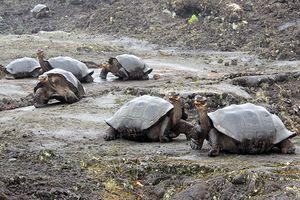 123 con rùa non trên quần đảo Galapagos bị đánh cắp