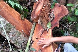 Nhiều cán bộ bị kỷ luật do rừng phòng hộ bị lâm tặc 'xẻ thịt'