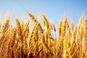 Đau đầu xử lý lúa mì nhập khẩu chứa cỏ nguy hại Cirsium