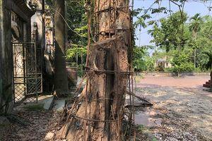 Lý do bất ngờ khiến người dân nằng nặc đòi bán cây sưa 100 tỷ ở Hà Nội