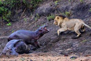 Ảnh động vật tuần: Hà mã đuổi sư tử khát máu, vẹt khóa môi...