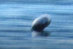 Quái vật Ogopogo cổ rắn trong huyền thoại bất ngờ xuất hiện trên măt hồ