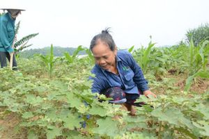 Tuyên Quang: Cải tạo vườn tạp trồng dược liệu