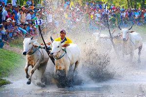 Đôi bò của ông Nguyễn Thành Tài đạt giải nhất