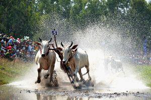 Hồi hộp xem hội đua bò Bảy Núi trên sân đua chùa Thơ - Mít
