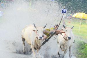 Thót tim với những bước chạy dũng mãnh tại giải đua bò Bảy Núi