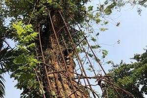Tại sao người dân nằng nặc đòi bán cây sưa 100 tỷ đồng ở Hà Nội?
