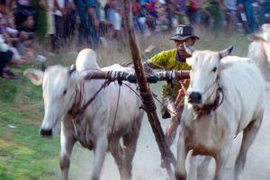 Độc đáo Lễ hội đua bò Bảy Núi ở An Giang