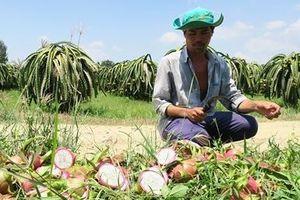 Thanh long rớt giá kỷ lục, chỉ 500-1.000 đồng/kg, nông dân khóc ròng