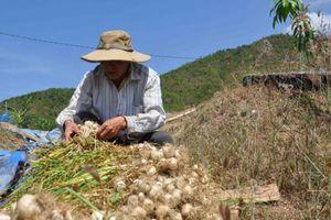 Khánh Hòa: Hàng trăm tấn tỏi có nguy cơ đổ bỏ
