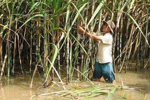 Hàng ngàn ha mía ngập trong nước lũ, nông dân nguy cơ lỗ trắng