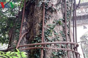 Cận cảnh 2 cây sưa đỏ giá trăm tỷ tại chùa Phụ Chính (Hà Nội)