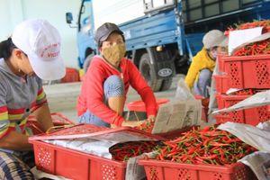 Malaysia tạm ngừng nhập khẩu ớt VN do dư lượng thuốc BVTV cao