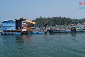 Cá bớp nuôi lồng chết hàng loạt ở Quảng Ngãi: Do thay đổi môi trường