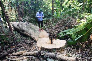 Rừng Hón Piềng bị chặt hạ trái phép