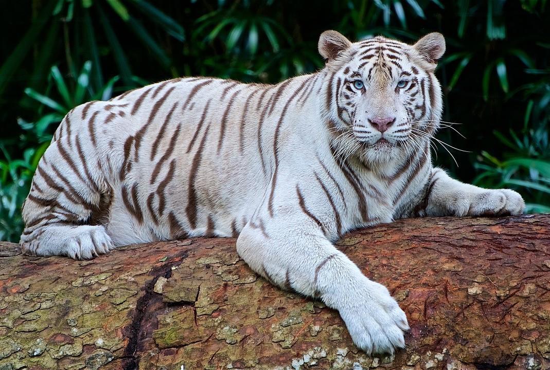 Hổ trắng vồ chết nhân viên vườn thú Nhật