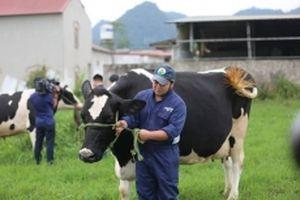 Một ngày ở nông trại bò sữa Mộc Châu