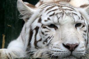 Hổ trắng quý hiếm vồ chết nhân viên sở thú Nhật Bản