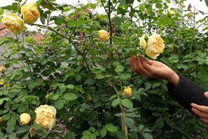 Xem đại gia vùng cao trồng hoa hồng trăm triệu