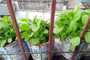 Giải pháp trồng rau xanh trong nhà phố vừa tiện lợi, tiết kiệm lại đảm bảo sạch sẽ