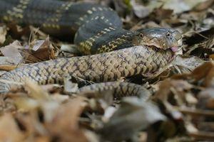 Rùng mình hổ mang chúa 'khổng lồ' nuốt trọn rắn săn chuột