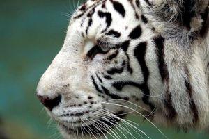 Hổ trắng quý hiếm bất ngờ vồ chết nhân viên vườn thú