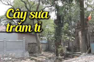 Cận cảnh cây sưa đỏ cổ thụ giá hàng trăm tỉ đồng ở Hà Nội