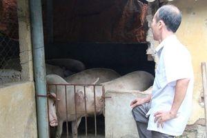 Sau cơn 'bão giá', lợn ăn cả...nhà, ăn cả 'sổ đỏ'
