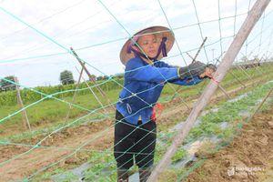 Anh Sơn gieo trồng hơn 300ha chuyên canh rau màu hàng hóa