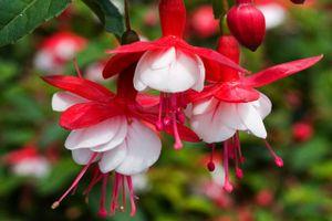 Khám phá loài hoa 'có tiếng' đẹp mỹ miều, trồng nhiều ở Việt Nam