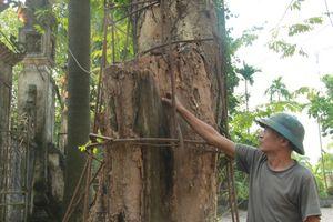 Cận cảnh cây sưa từng được đại gia trả giá 100 tỷ đang mối mọt theo thời gian ở Hà Nội