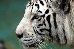 Hổ trắng quý hiếm vồ chết nhân viên vườn thú