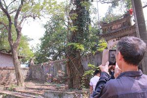 Người dân nhiều nơi đến chụp ảnh check-in 'cụ sưa' từng được đại gia trả giá trăm tỷ ở Hà Nội