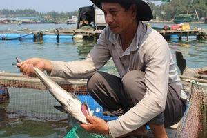 Điêu đứng vì cá bớp nuôi lồng chết hàng loạt