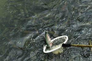 Làm giàu từ con cá hồi