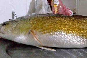 Ngư dân câu được cá nặng 3 kg nghi sủ vàng
