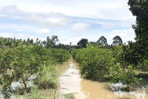 Chăm sóc vườn cây ăn trái bị ngập úng